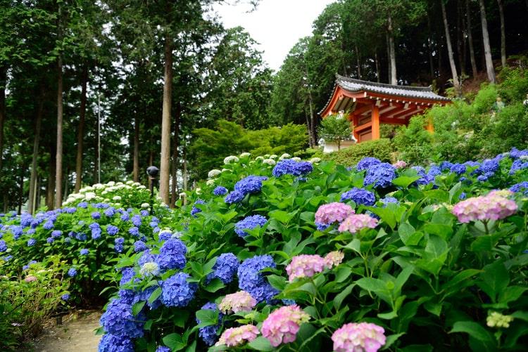 三室戸寺 紫陽花園